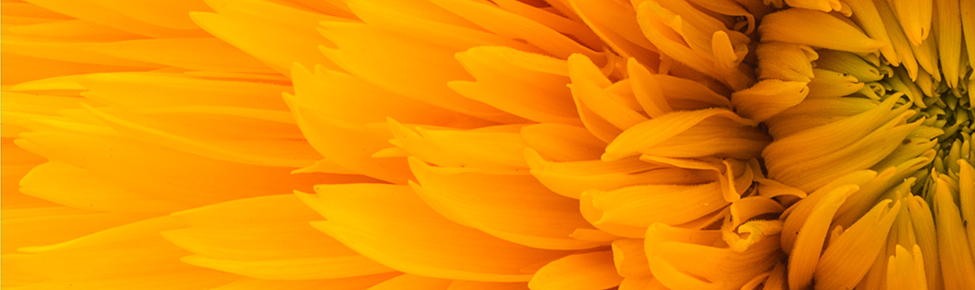 Close up image of a sunflower
